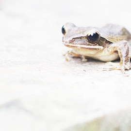 froggy by Indra Fardhani - Animals Amphibians ( frog, tree frog, white )