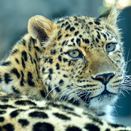 Big Cat by Amol Polke - Animals Lions, Tigers & Big Cats ( big cat, outdoor, wildlife, nice, dangerous )