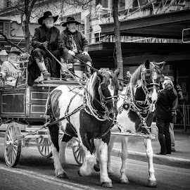 by Judy Rosanno - Black & White Street & Candid ( parade, sa stock show and rodeo, february 2017, san antonio rodeo, animals in the city )