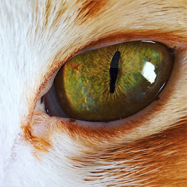 Feline stare by Zerene Lotter Eloff - Animals - Cats Portraits ( cat, ginger, green, stare, intense, feline, close up, eye )