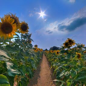 Sunflowers by Jay Kleinrichert - Nature Up Close Flowers - 2011-2013 ( farm, field, soft hdr, sunflowers, sunflower, flower, row, sun )