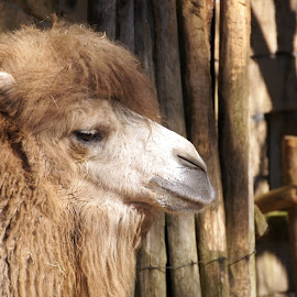 Camel 2 by Anita Berghoef - Animals Other Mammals ( animal portrait, up close, camel, zoo, nature, close up, mammal, animal )