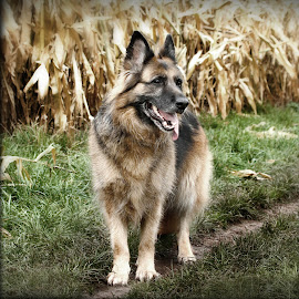 TONGUE TIED by Wayne Brown - Animals - Dogs Portraits ( shepherd, german, boned, big, long, dog, haired )