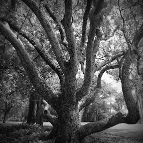 Old Tree by Jeremy Barton - Nature Up Close Trees & Bushes ( twigs, park, tree, wood, florida, bark, branches )