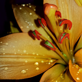 Pollen drop by Gloria Garcia - Nature Up Close Other plants ( water, orange, strong, drops, flower )