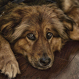 This guy is a major pain in my dog ass! by Jim Antonicello - Animals - Dogs Portraits