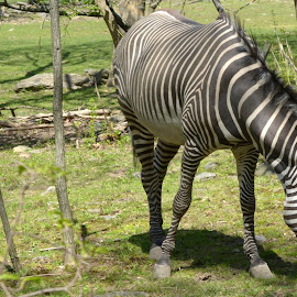 Zebra  by Lorraine D.  Heaney - Animals Other Mammals