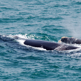 Southern Right Whale and her Calf by Stefan Smit - Animals Fish ( mammals, southern right whale, fish, calf, sea, ocean, whales )