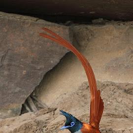 Indian Paradise Flycatcher by Devki Nandan - Animals Birds
