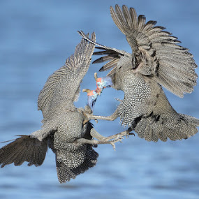 Fowl agression by Neal Cooper - Animals Birds ( fighting guineafowl )
