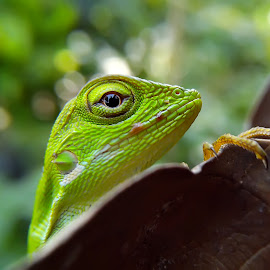 elberd the little lizard by Hendrata Yoga Surya - Instagram & Mobile Android ( green crested lizard, londok, bunglon surai )