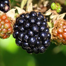 Wild Blackberries by Chrissie Barrow - Nature Up Close Gardens & Produce ( plant, wild, macro, red, green, blackberries, black, berries )