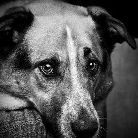 Harley's Eyes by Melanie Kern-Favilla - Animals - Dogs Portraits ( pet, black & white, cute, dog, portrait, eyes )