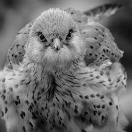 Kestrel by Garry Chisholm - Black & White Animals ( bird, nature, prey, raptor )