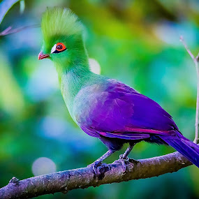 Green Turaco  by Ken Nicol - Animals Birds