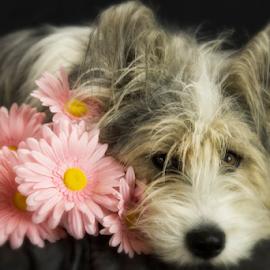 All You Need is Love. by Jacqui Sjonger - Animals - Dogs Portraits ( pet portrait, pink flower, pet photography, best friends, pet, beautiful, dog portrait, daisy, pink, beauty, dog, gerber,  )