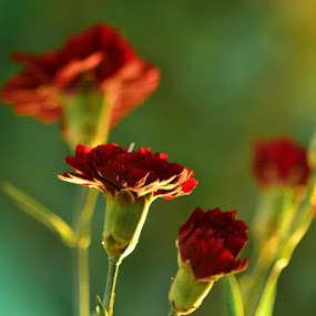 Red by Krishna Murti - Nature Up Close Flowers - 2011-2013 ( bunga, nature, flower )