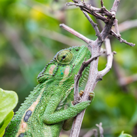 Greenaffair by Jacquiline Van Ghent - Animals Reptiles ( eye, green, chameleon, looking, stick, reptile, brown, leaf, coldblooded )