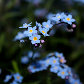 by Christine Weaver-Cimala - Flowers Flower Gardens ( canon, blue, art, forget me not, dof, spring, flower,  )