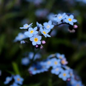 by Christine Weaver-Cimala - Flowers Flower Gardens ( canon, blue, art, forget me not, dof, spring, flower )