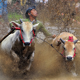 Pacu jawi by Gian YE - Sports & Fitness Rodeo/Bull Riding ( news, event, sport, pacu jawi, culture )