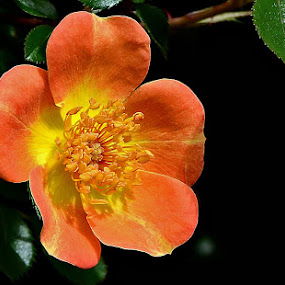 Japanese Rose  by William Lallemand - Nature Up Close Flowers - 2011-2013 ( black  green  orange  yellow )