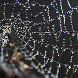 Strands Of Pearls by Carmina Quesada - Nature Up Close Webs ( abstract, strands, designs, spiderweb, nature up close, web, dewdrops )