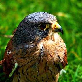 Kestrel by Gordon Simpson - Animals Birds