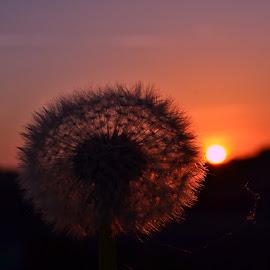 Sunset by Dunja Milosic Odobasic - Nature Up Close Other plants (  )