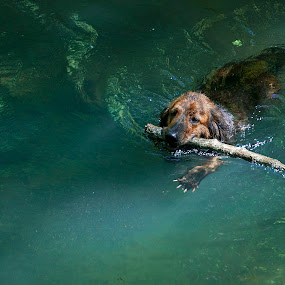 Newfie saving... by Gospon Fulir - Animals - Dogs Playing