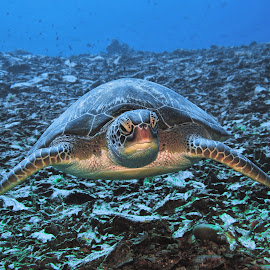 by Phil Bear - Animals Sea Creatures ( coral reef, reef, sea turtle, indonesia, gili trawangan, turtle )