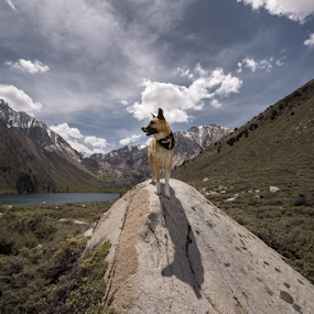 I Claim part 2 by Michael Keel - Animals - Dogs Portraits ( dog lover, mountains, sierra nevada, dogs, sierras, convict lake )