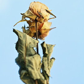 withered rose Speier by Mona Martinsen - Artistic Objects Still Life