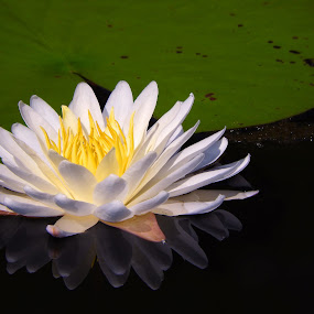Reflections in a pond by Bill Martin - Flowers Flowers in the Wild ( water, reflection, nature, white, yellow, water lily,  )