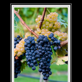 hendersonville vineyards post card design by Steven Faucette - Typography Captioned Photos ( grapes, vineyards, hendersonville, post card, north carolina )