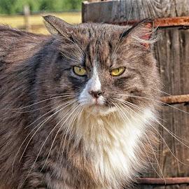 Feelin' Grumpy by Twin Wranglers Baker - Animals - Cats Portraits