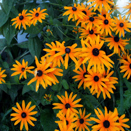 Daisy,Daisy by Nancy Bowen - Novices Only Flowers & Plants ( orange, grouping, daisies, flowers )