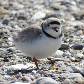 Piping Plover by Erika  Kiley - Novices Only Wildlife ( bird, piping plover, nesting, beach, cute, spring )