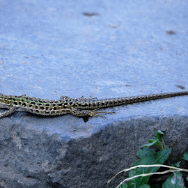 by Maricor Bayotas-Brizzi - Animals Reptiles
