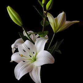 by Irena Gedgaudiene - Flowers Flower Buds