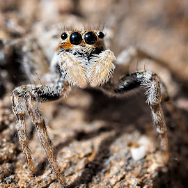 by Carlos Gimeno - Animals Insects & Spiders ( 60mm, macrophotography, olympus, spider, eyes,  )