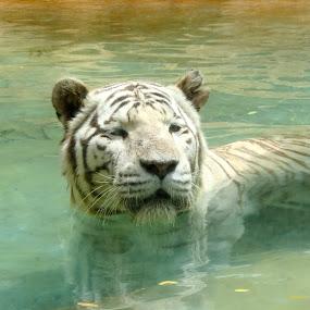 Swim by Alex Nicholson - Novices Only Wildlife ( white tiger, tenerife )