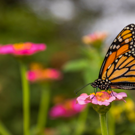 butterfly by Dale Youngkin - Animals Insects & Spiders ( close up, flowers, garden, butterly, flower )