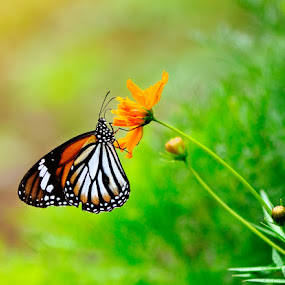 The Monarch butterfly (Danaus plexippus) by Ardhy Muhammad - Animals Insects & Spiders ( butterfly, macro, nature, insect, animal )