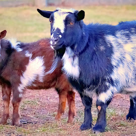Barn Buddies by Sue Delia - Animals Other ( farm, goats, goat )