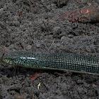 Florida Glass Lizard