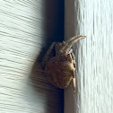 Spotted Orbweaver/Barn Spider