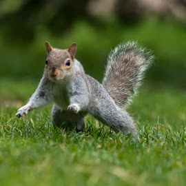 Squirrel  by Nando Scalise - Animals Other