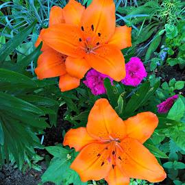 Lilys by Sam Medzic - Nature Up Close Gardens & Produce (  )