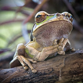 Praying for sleep... by Betty Arnold - Animals Amphibians ( animals, frog, amphibian, masked tree frog )